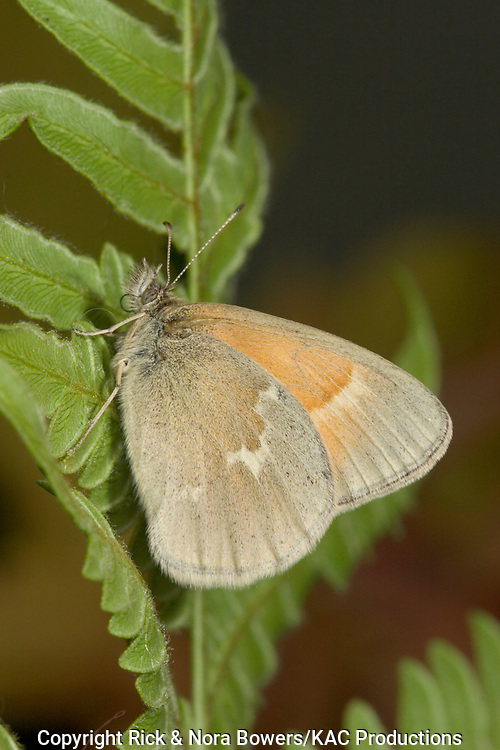 Common Ringlet .Coenonympha tullia.Aitkin, Aitkin County, Minnesota, United States.27 June       Adult       Nymphalidae