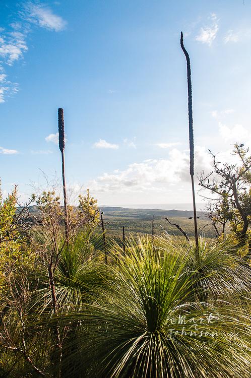 Grass trees growing on Mt. Tempest, Moreton Island, Queensland, Australia
