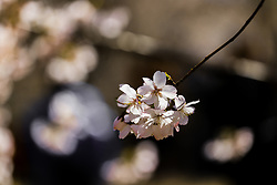 March 24, 2019 - Beijin, Beijin, China - Beijing,CHINA-Cherry blossoms at Yuyuantan Park in Beijing, China. (Credit Image: © SIPA Asia via ZUMA Wire)