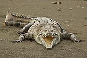American crocodile, Osa Peninsula Costa Rica.