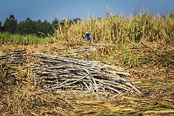 Canavial orgânico, lavoura de cana-de-açucar na propriedade da cachaçaria premium Weber Haus, no bairro Picada 48 Alta, em Ivoti, RS. FOTO: Gustavo Roth / Agência Preview