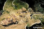 crocodilefish, crocodile fish, or De Beaufort's flathead, Cymbacephalus beauforti, Susan's Reef, Kimbe Bay, New Britain, Papua New Guinea ( Bismarck Sea )