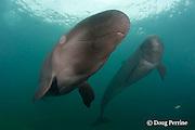 false killer whales, Pseudorca crassidens