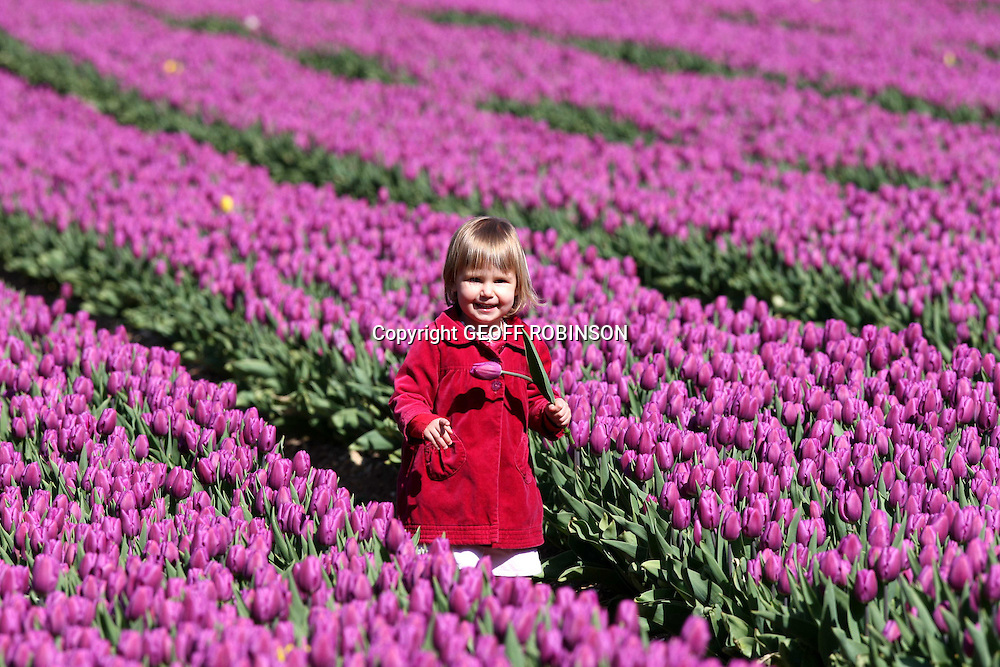 "ISABELLA WARD ON TUESDAY APRIL 20TH IN THE TULIP FIELD IN NORFOLK...This may look like the heart of Holland but incredibly little two-year-old Isabella Ward is tiptoeing through the tulips in the middle of the English countryside...The Norfolk landscape is a kaleidoscope of colours as the tulips finally burst into life after a later than average Spring...Sadly these are the last remaining tulip bulbfields in Britain at Cockley Cley, near Swaffham...At the beginning of the 20th Century more than 3,000 acres of tulips were grown in Norfolk and Lincolnshire but today this has diminished to just 35 hectares...Janet and Peter Ward, who run Belmont Nurseries, have been growing tulips for 10 years and supply 15 million stems to supermarkets each year...""There used to be lots of tulip fields in this area and people would come on bus trips to see the flowers like they do in Holland,"" said Janet...""Now I believe we are the only tulip bulb growers left in Britain. I don't know anyone else that does it anymore...SEE COPY CATCHLINE Last British tulip bulbfields"