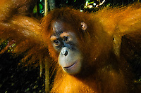 Indonesia, Sumatra. Bukit Lawang. Gunung Leuser National Park. The orangutan sanctuary of Bukit Lawang is located inside the park. A young orangutan.