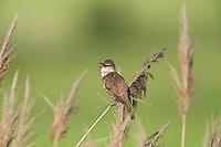 Great Reed Warbler singing, Acrocephalus arundinaceus, Eastern Slowakia, Europe, Drosselrohrsänger singt, Acrocephalus arundinaceus, Slowakei, Europa