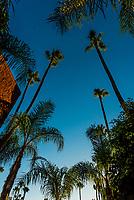 Palm trees, Sherman Oaks (Los Angeles), California USA.