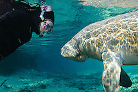 Florida manatee, Trichechus manatus latirostris, a subspecies of the West Indian manatee, endangered. Series of polite passive interaction, observation of a manatee. A female snorkeler wearing a pink mask observes and adult manatee on a bright day in the springs. Horizontal orientation with blue water, rainbow sun rays and reflections. Three Sisters Springs, Crystal River National Wildlife Refuge, Kings Bay, Crystal River, Citrus County, Florida USA.