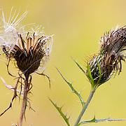 Thistle plant in autumn