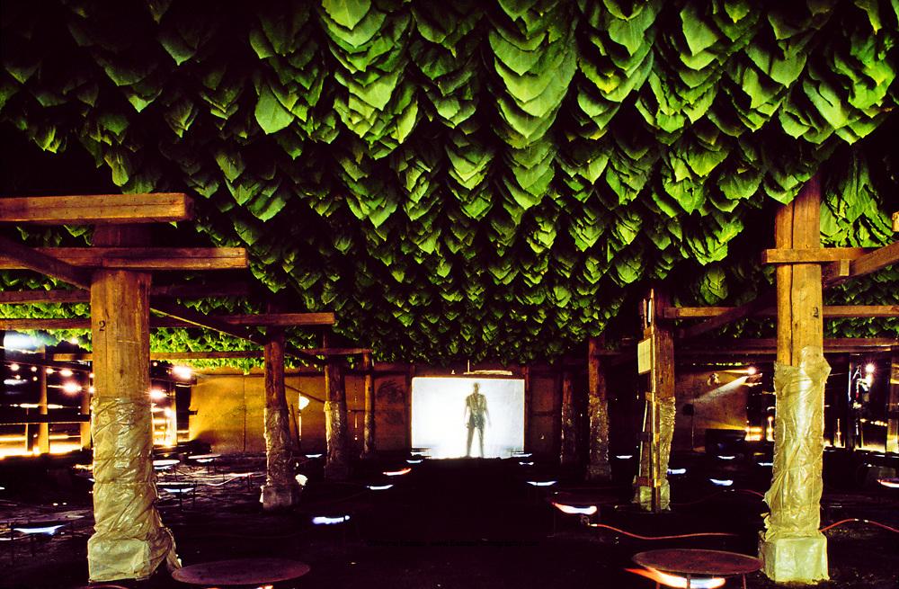 Curing CT Shade cigar wrapper leaf, Windsor, CT