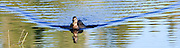 female Mallard duck (Anas platyrhynchos) a surface-feeding duck swimming with a V-shaped wake in Takhlakh Lake in the Gifford Pinchot National Forest, Washington state, USA panorama