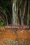 Celebrity planted banyan tree (Babe Ruth) on Banyan Drive, Hilo, The Big Island, Hawaii USA
