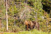 FINLAND, Kuhmo.Brown bear (Ursus arctos) in the forest