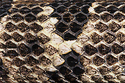 Timber Rattlesnake (Crotalus horridus) scale detail<br /> CAPTIVE<br /> Northern Georgia<br /> USA<br /> HABITAT & RANGE: Deciduous forests in rugged terrain and open, rocky ledges. Eastern USA