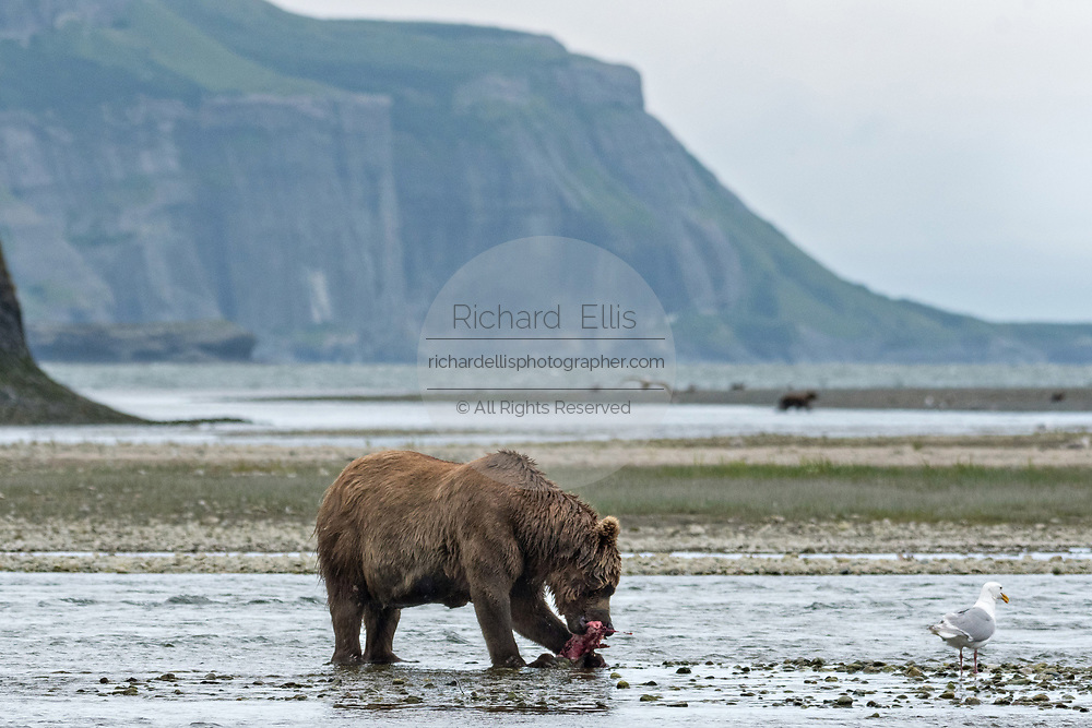 A Brown bear boar eats a freshly caught salmon in the lower lagoon at the McNeil River State Game Sanctuary on the Kenai Peninsula, Alaska. The remote site is accessed only with a special permit and is the world's largest seasonal population of brown bears in their natural environment.