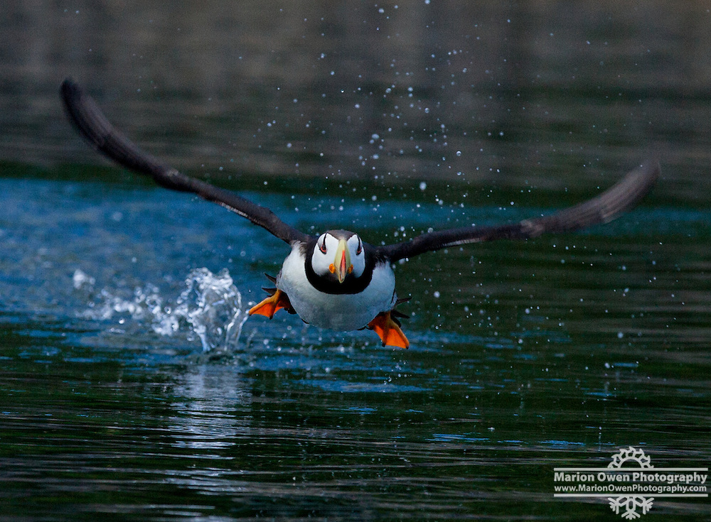 Horned puffin, Fratercula corniculata, alcid, birds, Kodiak, Alaska, photograph, Island, flying, wings