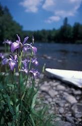 Errol, NH.Large Blue Flag, Iris versicolor, with Hobomok Skipper, Poanes hobomok.  Androscoggin River.  13 Mile Woods.  Northern Forest.