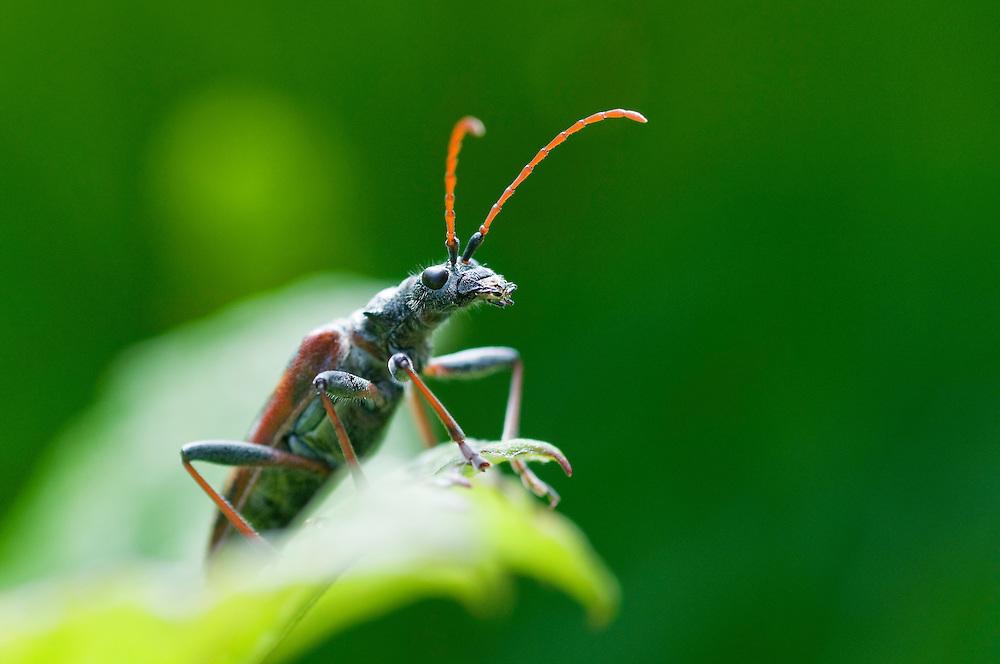 Two banded longhorn beetle; Rhagium bifasciatum, near Steg, Lichtenstein