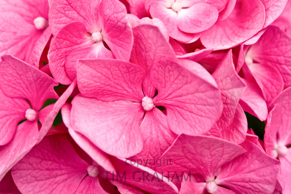 Summer flowering pink Hydrangea shrub, Hydrangea macrophylla Harrys Red, Dordogne, France