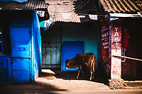A young cow walks along the roadside near Shanta Durga temple in Goa, India.