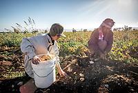 Local farmers harvest potatoes from the fertile soil around Umm Qais.