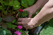 woman planting in her garden only her hands are visible in this image. Model release available