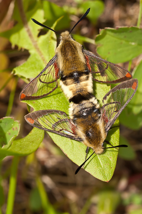 Snowberry clearwing, Hemaris diffinis, mating, Waterton National Park, Alberta, Canada
