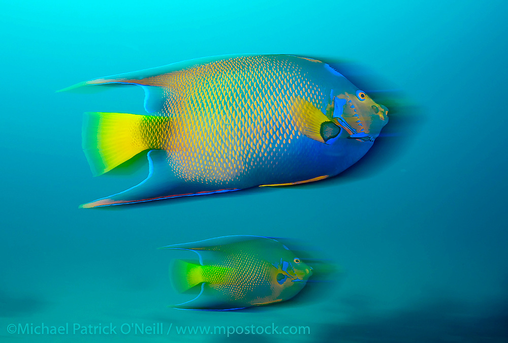 A Queen Angelifsh, Holacanthus ciliaris, swims over the Breakers coral reef offshore Palm Beach, Florida, United States.
