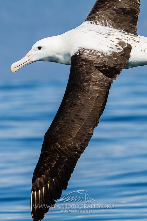 Northern Royal Albatross in flight, New Zealand