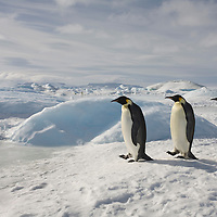 Antarctica, Snow Hill Island, Emperor Penguins (Aptenodytes forsteri) on frozen sea ice on sunny afternoon