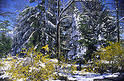 forsythia & evergreens in snow; spring snow; Pennsylvania; nature
