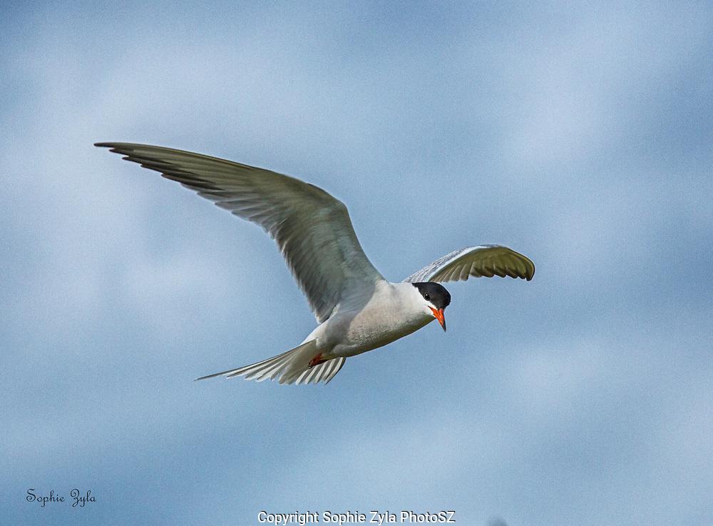 Common Tern eye contact