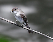 Image of an eastern phoebe