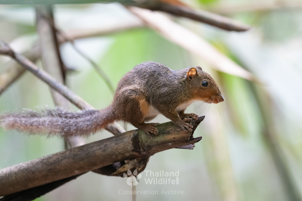 The Asian red-cheeked Squirrel (Dremomys rufigenis) is a species of rodent in the family Sciuridae. It is found in Cambodia, China, India, Laos, Malaysia, Myanmar, Thailand, and Vietnam.
