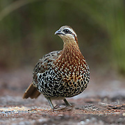 The mountain bamboo partridge (Bambusicola fytchii) is a species of bird in the family Phasianidae. Mountain bamboo partridges live close to water in bamboo scrub forest, tall grassland and degraded forest areas with bamboo groves.