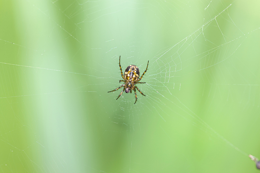 orb weaver spider in web with prey