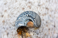 The Atlantic wraps around a Moon Snail shell along the Outer Banks of North Carolina.  The Outer Banks feature beautiful shoreline as part of the Cape Hatteras National Seashore.  This particular Moon Snail shell had scratching and coloration that made it a fast favorite of mine!