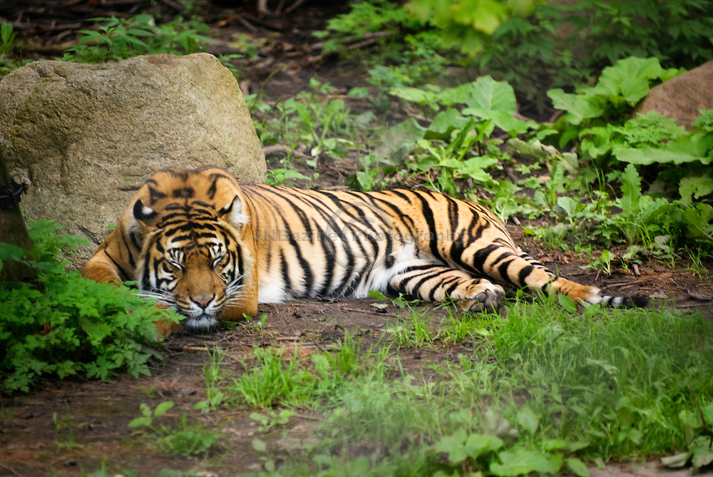 A Siberian Tiger at rest in an enclosed zoo exhibit.
