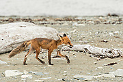 A red fox adult walks along the beach at the McNeil River State Game Sanctuary on the Kenai Peninsula, Alaska. The remote site is accessed only with a special permit and is the world's largest seasonal population of brown bears in their natural environment.