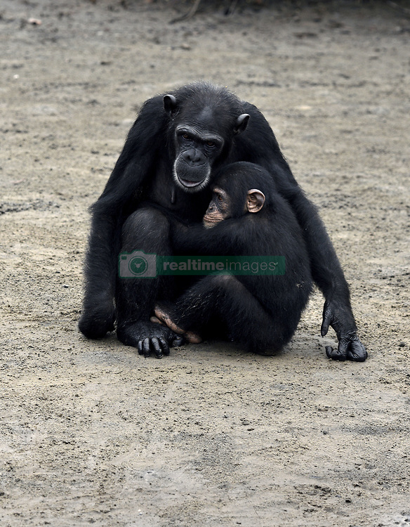 March 8, 2016 - Washington, DC, U.S - HSUS and NYBC came to an agreement recently after years of discussion about the care of research chimps NYBC abandoned in Liberia.  In March 2016, a team from Humane Society of the United States visits Liberia in West Africa to view situation with research chimpanzees abandoned by New York Blood Center, which stopped all funding for food and water and also refused to pay for their caregivers who used their own meager finances to continue feeding them. They now live on six islands serving as a sanctuary run by Jenny and Jim Desmond.  The HSUS has stepped in to assist and improve the dire situation in which the chimpanzees were literally left to die if not for the heroic efforts of their original caregivers who had worked for New York Blood Center and were abandoned as well. Photo by Carol Guzy/Freelance for HSUS March 8, 2016 (Credit Image: © Carol Guzy via ZUMA Wire)