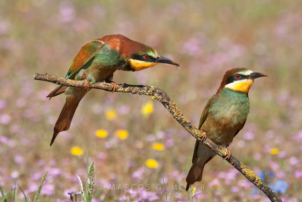 EN. European Bee-eaters (Merops apiaster). Male about to offer an insect to female during mating season, Andalucia, Spain.<br /> ES. Abejaruco com&uacute;n (Merops apiaster), macho ofreciendo un insecto a la hembra durante el cortejo. Andaluc&iacute;a, Esps&ntilde;a.