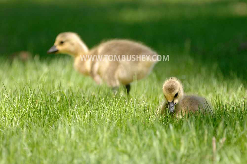 Middletown, N.Y. - Two goslings look for food inthe grass by the lake at Fancher-Davidge Park on May 4, 2006.