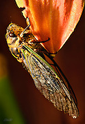 A 2 inch long Dog Day or Annual Cicada (Tibicen canicularis) clings to a Day Lilly (Hemerocallis ) petal in the morning sunlight.