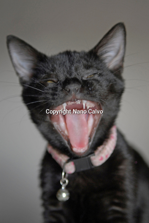 Comical shot of black kitten yawning