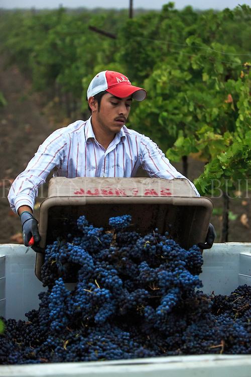 vineyard worker dumping freshly picked Merlot grapes into a half ton bin at Swanson Vineyards in Oakville, California.