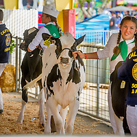 Alyssa Timoschuk, 13, from Monte Vista 4H, Chino, walks her Jersey cow during youth competition during opening day of the San Bernardino County Fair in Victorville, Saturday, May 24, 2014.  (Eric Reed/For The Sun)