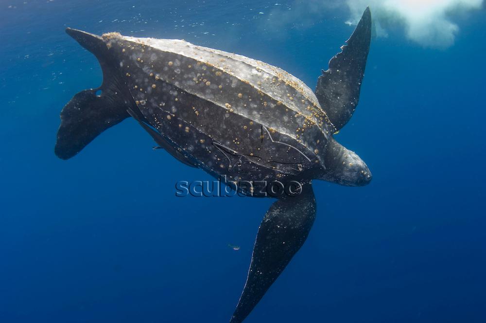 Leatherback turtle, Dermochelys coriacea, swimming off Kai Kecil, Maluku Islands, Indonesia.