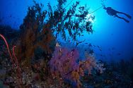Black corals-corail noir (Antipatharia) of Red Sea, Sudan