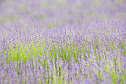 Snowshill Folgate lavender field, Worcestershire, United Kingdom The Cotswolds