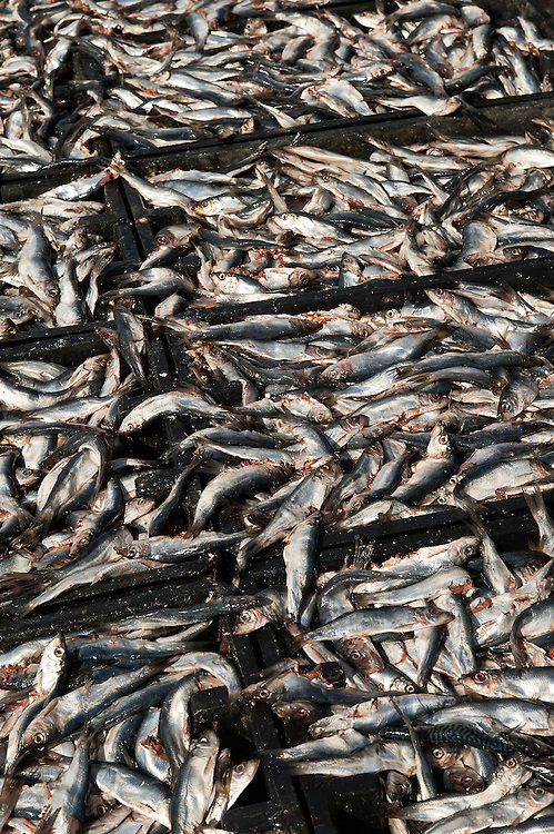 Herring fish used as bait by lobster fishermen.